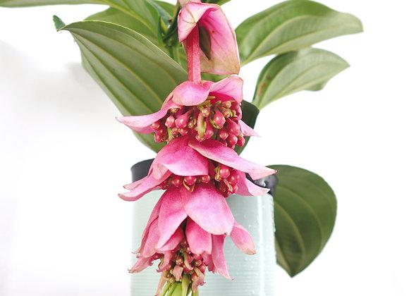 Medinilla Magnifica (fam. Melastomataceae)
