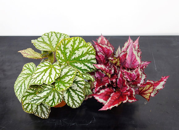 "Begonia Blad ""Magic Colors"" (fam. Begoniaceae)"
