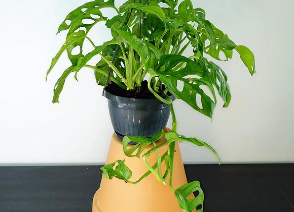 """Monstera """"Monkey Leaf"""" Basket (fam. Araceae)"""
