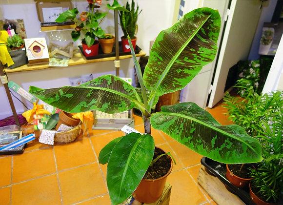 Musa Cavendish (fam. Musaceae)