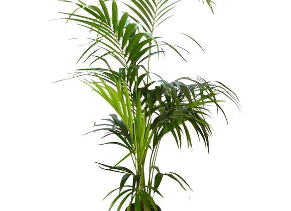 Kentia Howea   (fam.araceae)