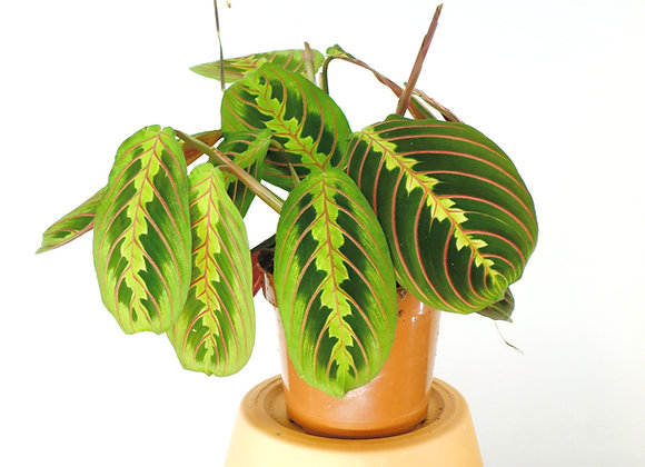 Maranta Tricolor (fam Marantaceae)