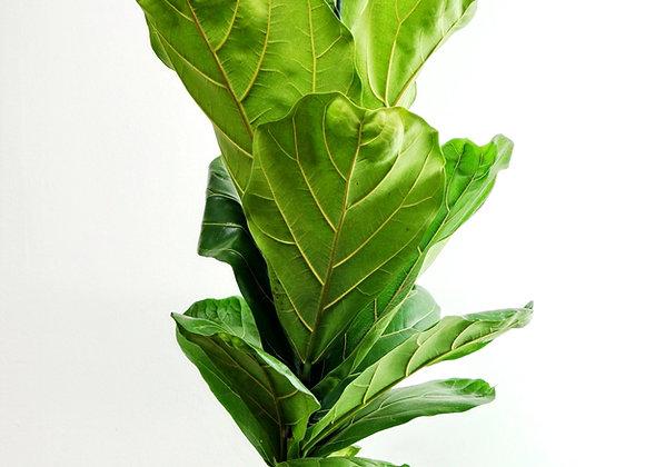 Ficus Lyrata (fam.Moraceae)