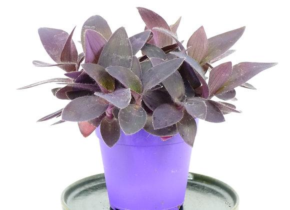 Tradescantia (fam. Commelinaceae)