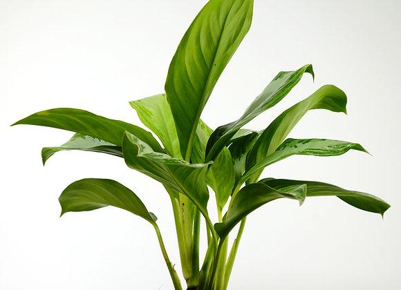 """Aglaonema """"Chinese evergreen"""""""
