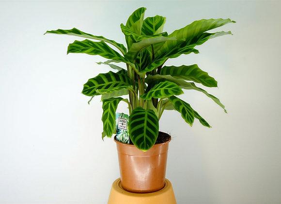 Calathea Makoyana (fam.Marantaceae)