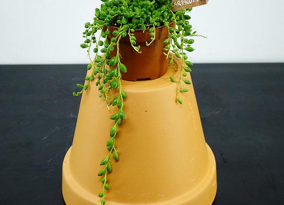 "Senecio Rowleianus ""Teardrop"" (fam.Asteraceae)"