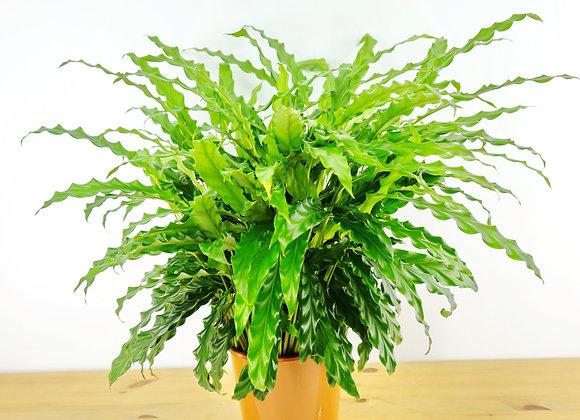 Calathea Rufibarba (fam. Marantaceae)