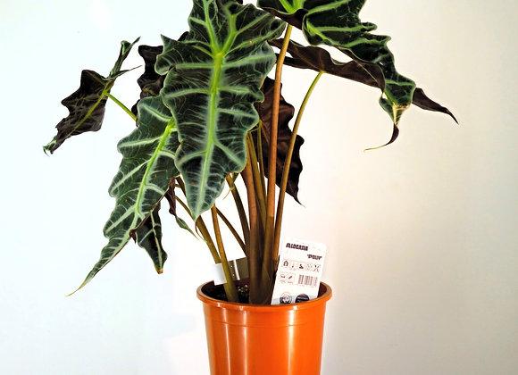 Alocasia Polly (fam. Araceae)