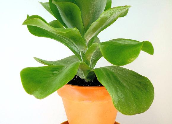 Kalanchoe Tetraphilla (fam. Crassulaceae)