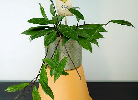 Hoya carnosa (fam. Asclepiadaceae)