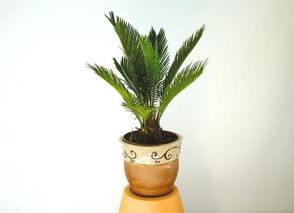 Cycas (fam.Cycadaceae)