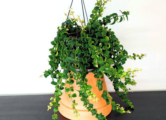 Twisted Lipstick Plant (Aeschynanthus 'Rasta') Basket