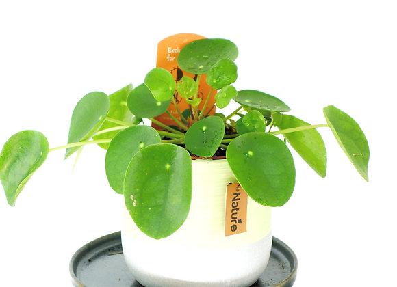Pilea Peperomioides (fam. Urticaceae)