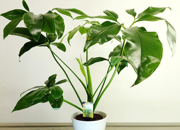 Philodendron Bipinnatifidum (fam. Araceae)