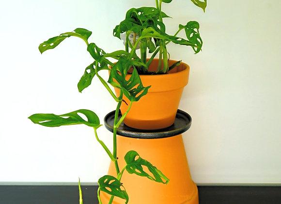 """Monstera """"Monkey Leaf"""" (fam. Araceae)"""