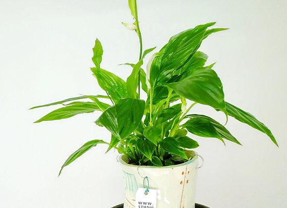 Spathiphyllum Pequeno (fam.Araceae)