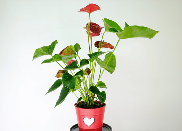Anthuryum Andraeanum (fam. Araceae)