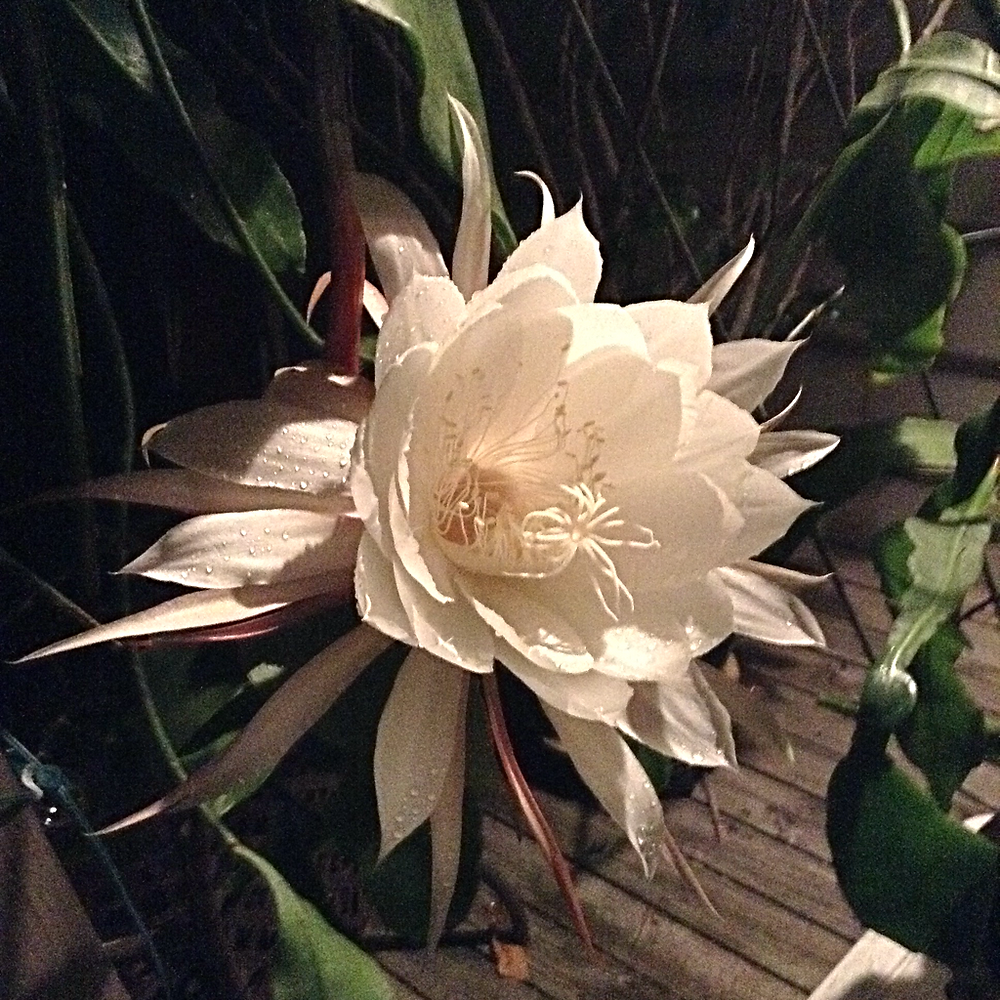 Cereus bloom 2017