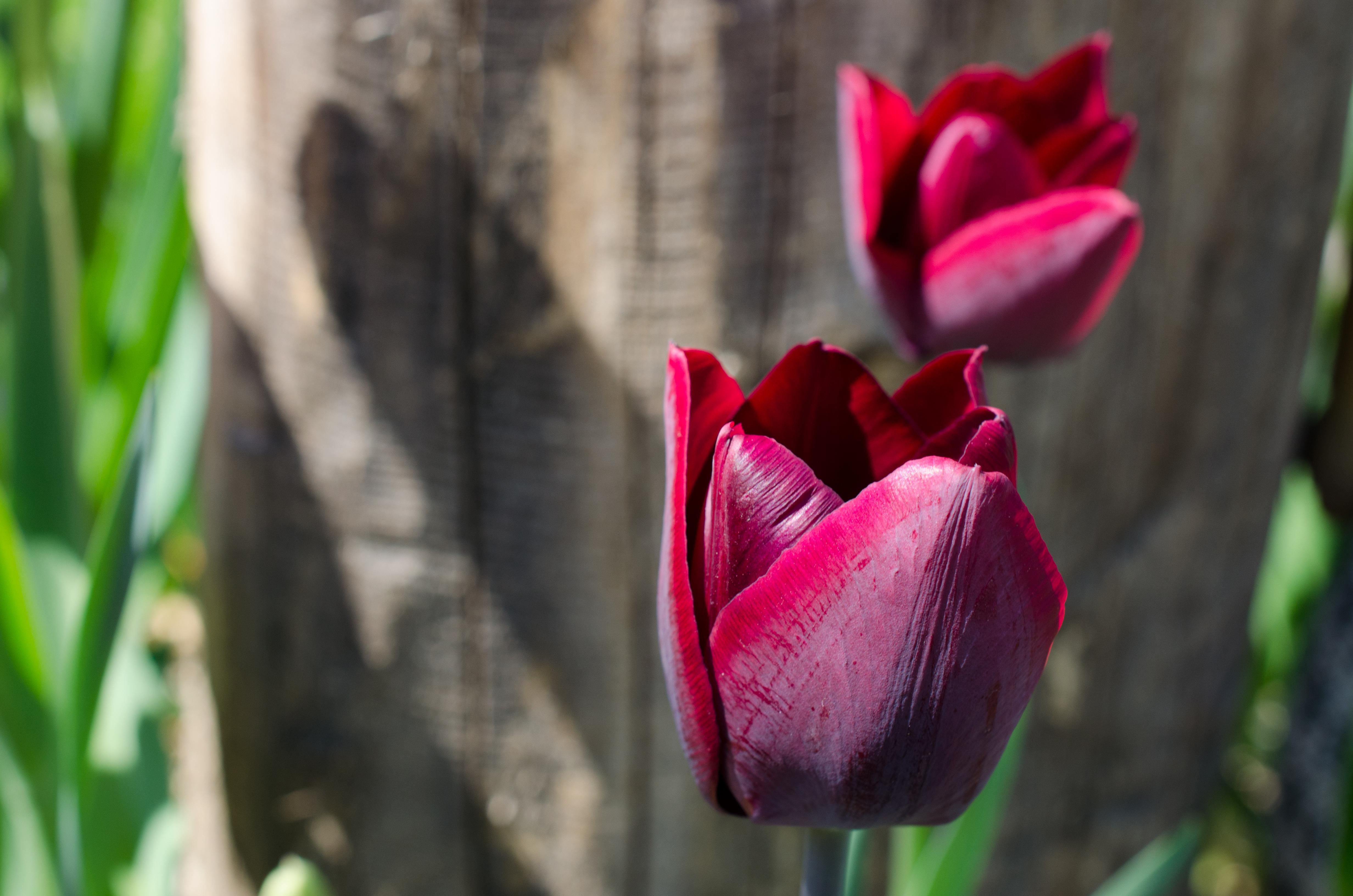 Tulpen draußen
