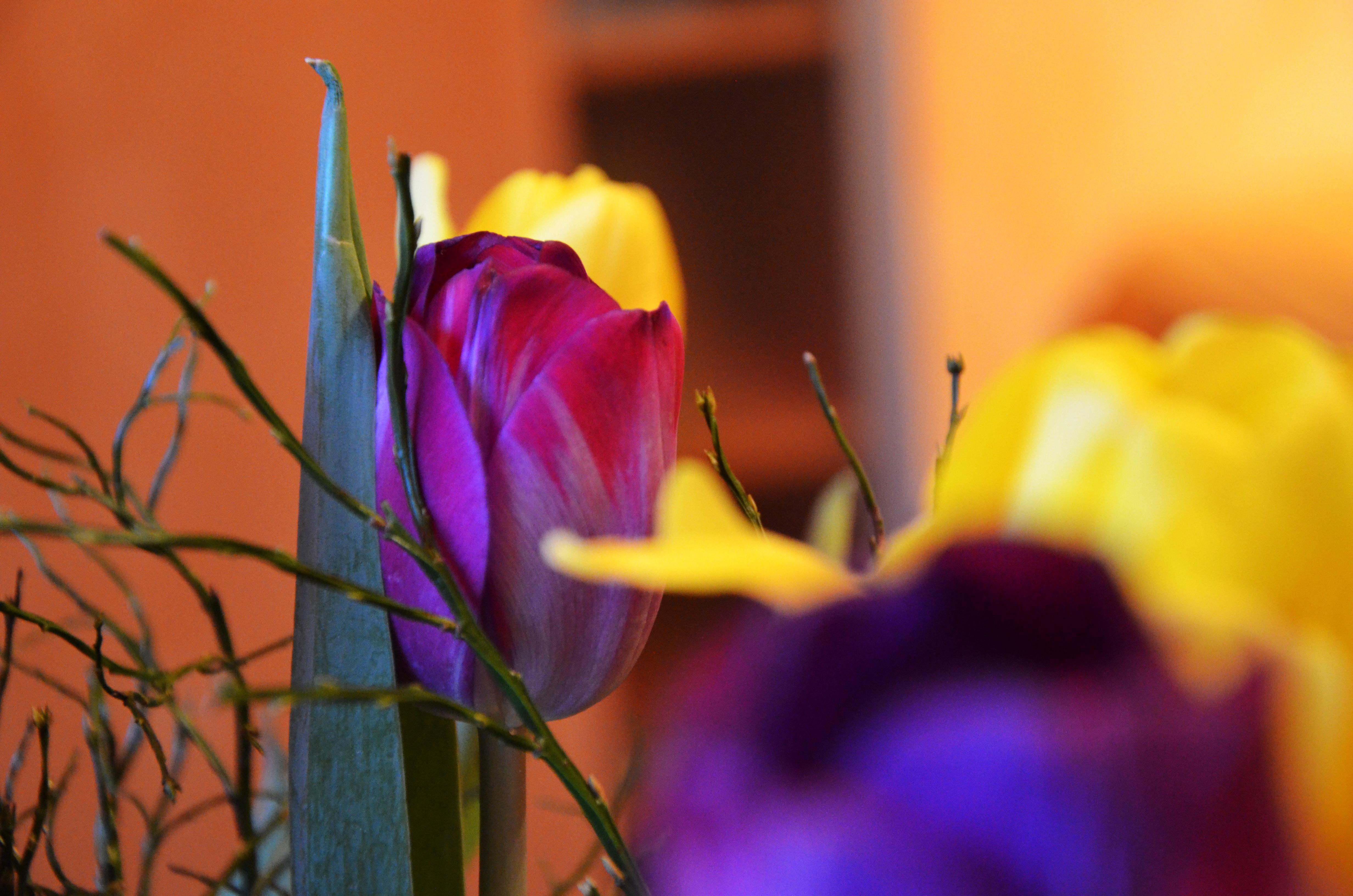 Tulpen nr.2