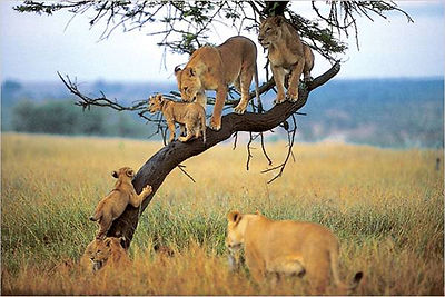 Tree climbin lions are easily seen in Tanznia,Manyara and Mikumi national park.