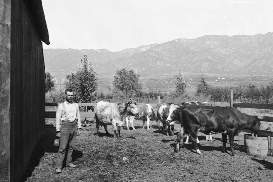 historic image of cowboy with cows