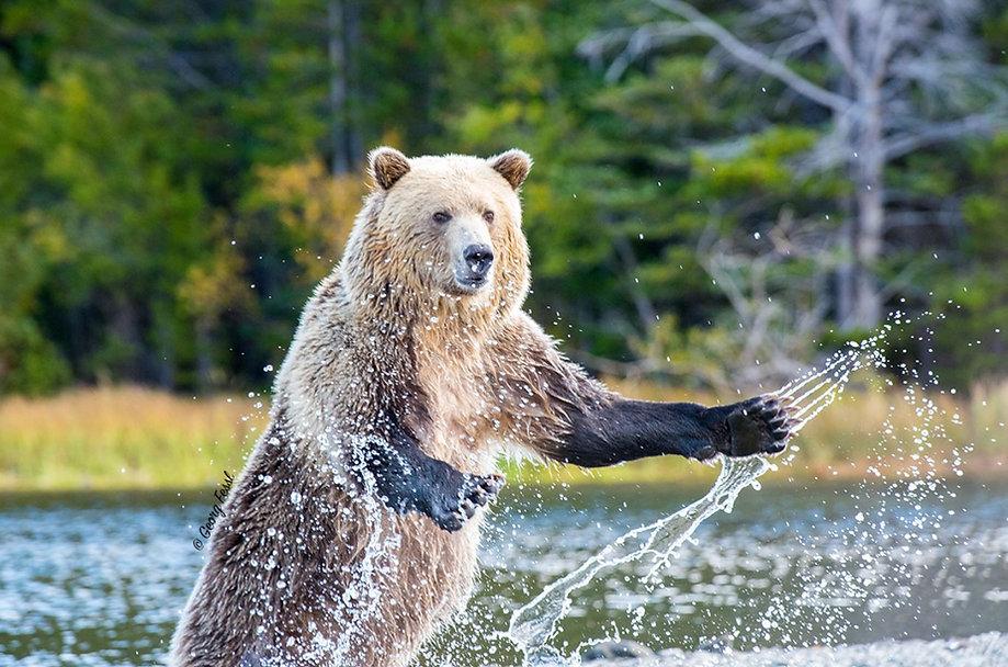 Standing splashing Bears.JPG