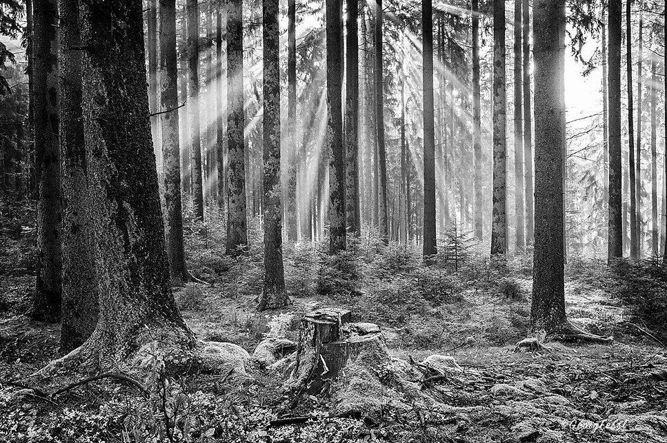 bw Wald.JPG