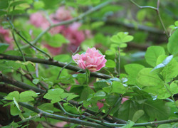 Giverny Roses