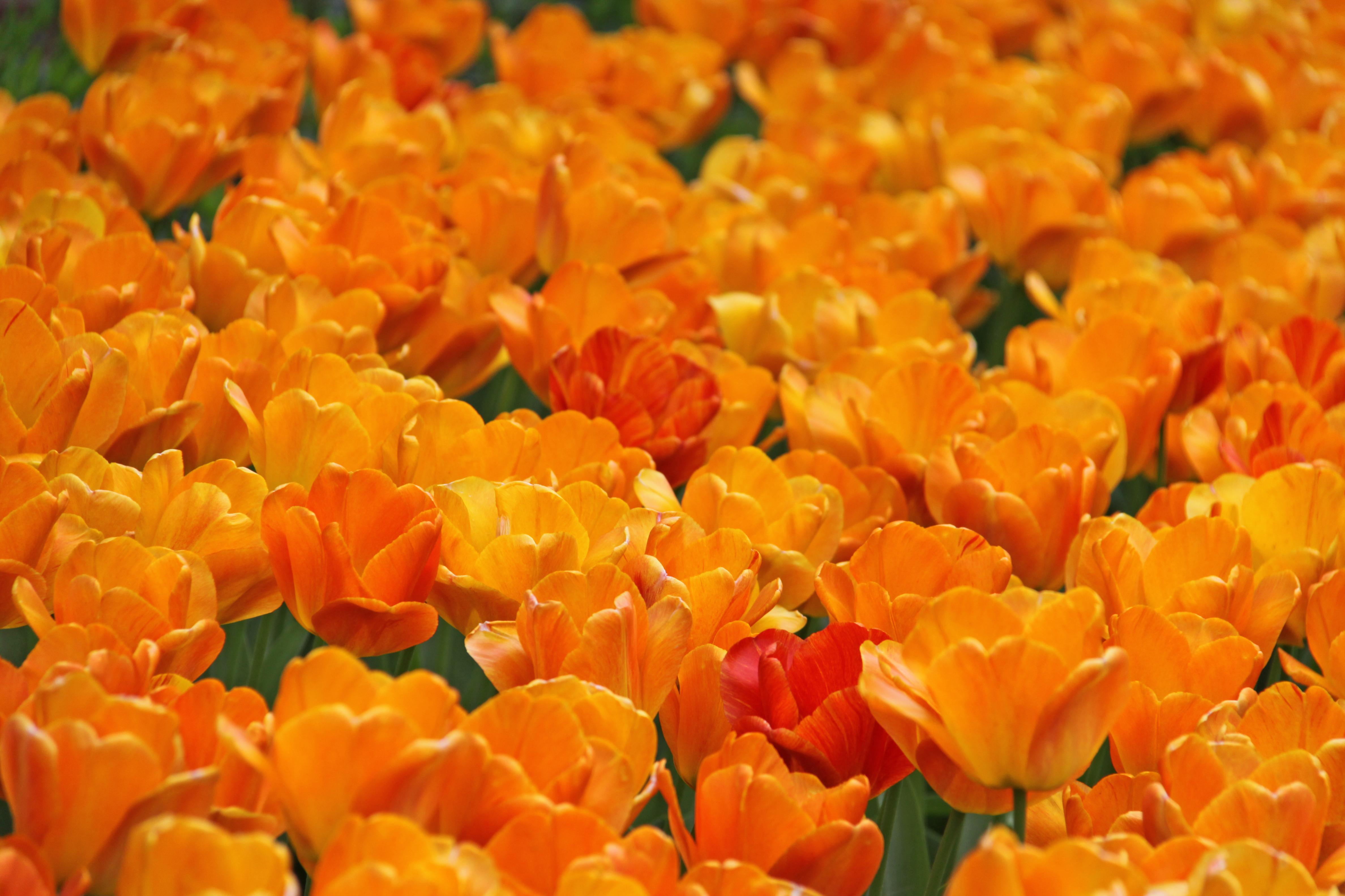!  Tulips