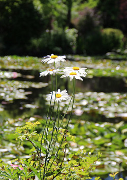 Giverny Daisies
