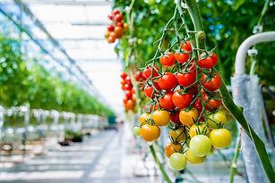 greenhouse-tomato-1024x684.jpg