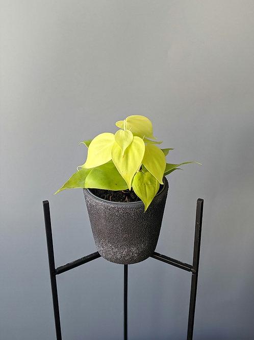 Philodendron Micans Lemon Lime