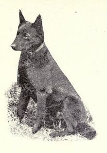 Kelpie breed conformation 1915