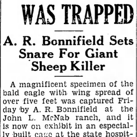 1938 Alvin Bonnifield Catches Sheep Predator Bald Eagle