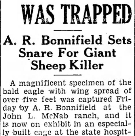 1938 Alvin Bonnifield Catches Sheep Predator Bald Eagle
