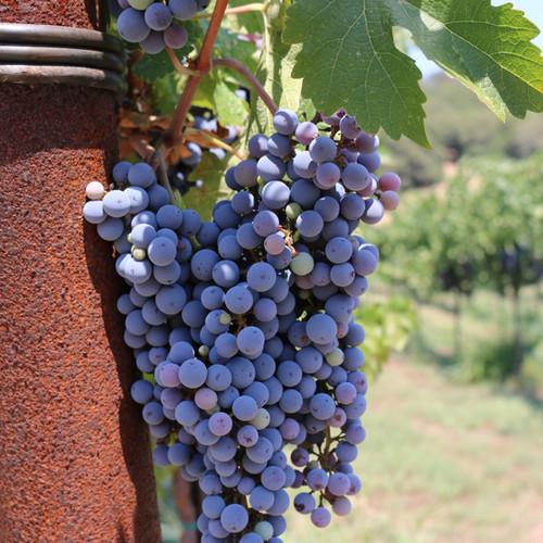 vineyard pictures for blog.jpg