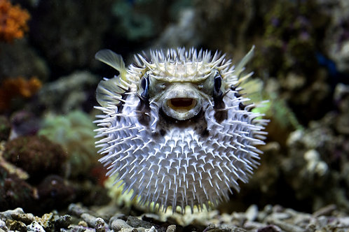 Franky The Puffer Fish