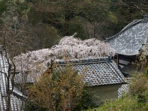 なりひら桜
