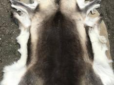 Beautiful thick fur of an autumn reindeer