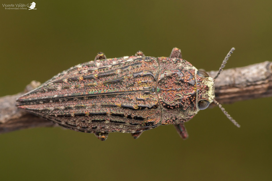 Ectinogonia oscuripennis