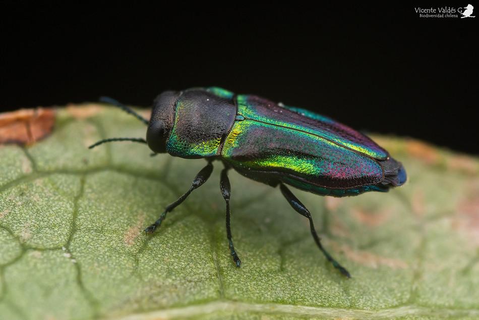 Bilyaxia concinna (macho)