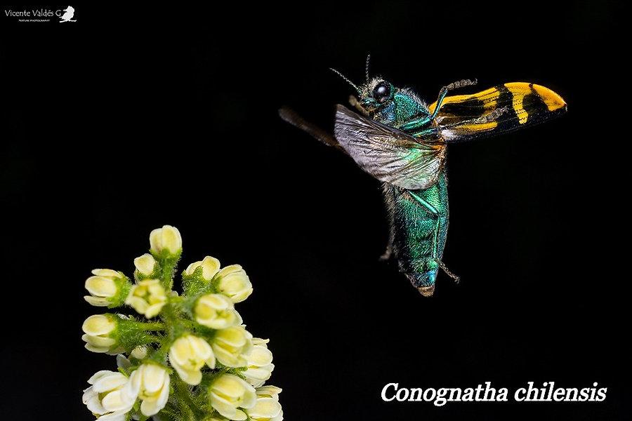 Conognatha chilensis