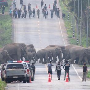 Habitat Loss is the Greatest Threat to Asian Elephants' Survival