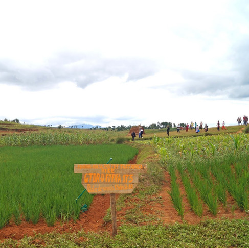 Malagasy women farmers lead the way in closing the rice yield gap through Good Agricultural Practice