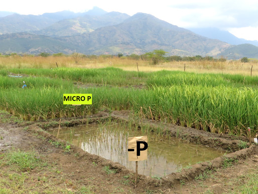 Phosphorus placement and water-saving technologies can improve rice production