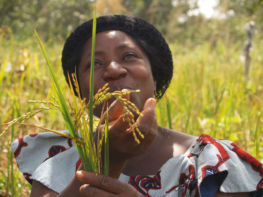 Birthplace of African rice domestication identified in Mali