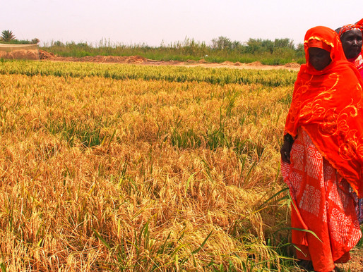 AfDB-TAAT promotes trailblazing hybrid rice technology adapted to Africa