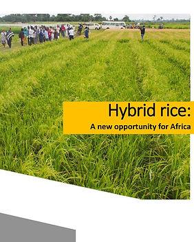 Hybrid rice.jpg